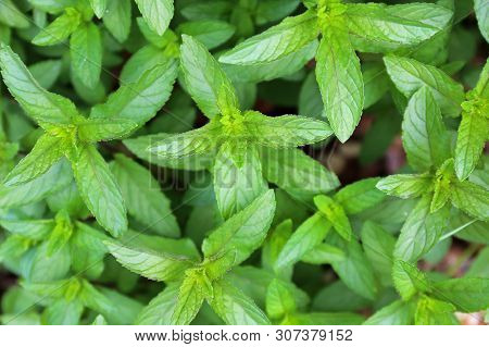 Peppermint Plant From The Mint Family Growing In The Home Garden