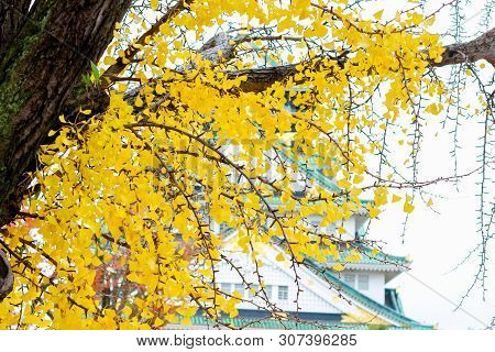 Ginkgo Leaves On Ginkgo Tree With Yellow Leaves (ginkgo Biloba) In Autumn,japan