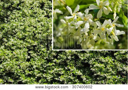 Jasminum Polyanthum. Jasmine Flower Bush And Close Up