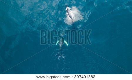 Aerial view of Humpback (Megaptera novaeangliae) whale, Iceland. Whale watching is one of the most popular activity in iceland.