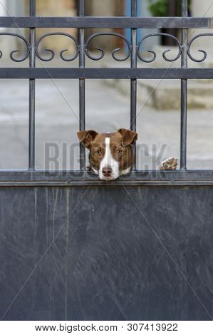 Dog Is Guarding House And Looking At The Passersby. Cute Hound Behind Metal Fence Is Standing At The
