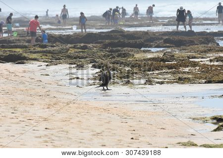 Cape Cormorant On Crowded Beach (phalacrocorax Capensis), Mossel Bay, South Africa