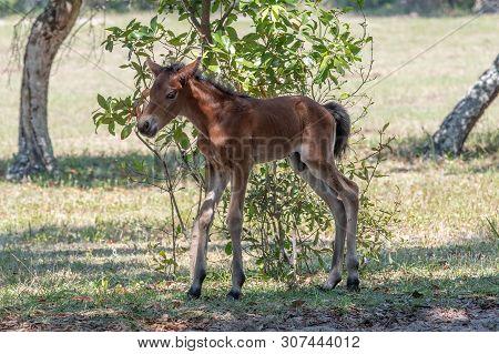 A Newly Born Wild Colt On Shaky Legs.