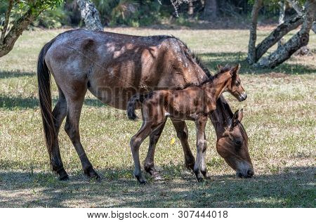 A Newborn Colt With His Mother At Cumberland Island National Seashore.