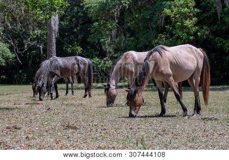 Wild Horses Grazing At Cumberland Island National Seashore.