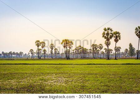 Landscape Of Toddy Or Sugar Palm With Paddy Jasmine Rice At Phetchaburi Thailand