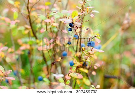 Old Overripe Wild Boreal Blueberry Berries Grow In Colorful Vegetation On The Background Of Green Gr