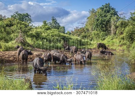 Herd Of African Buffalo Bathing And Drinking In Kruger National Park, South Africa ; Specie Syncerus