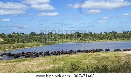 Herd Of African Buffalo In Lake Side In Kruger National Park, South Africa ; Specie Syncerus Caffer