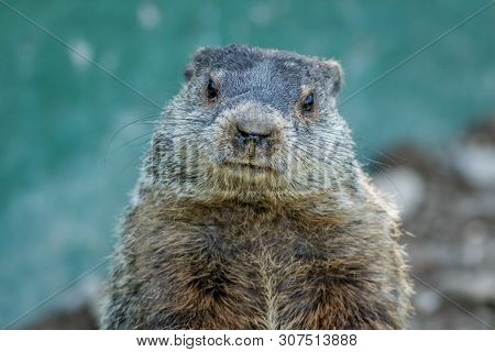 Adorable Small Funny Young Groundhog (marmota Monax) Closeup Faces Front