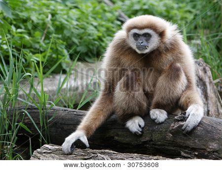 Beautiful male gibbon