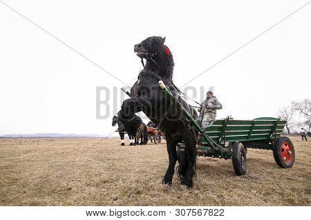 Pietrosani, Romania - January 6, 2019: A Black Beautiful Adorned Horse Rears While Pulling A Cart, B