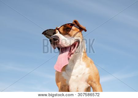 Funny Dog In Sunglasses Portrait, Hero Shot. Cute Staffordshire Terrier Posing In Retro Eyeglasses A