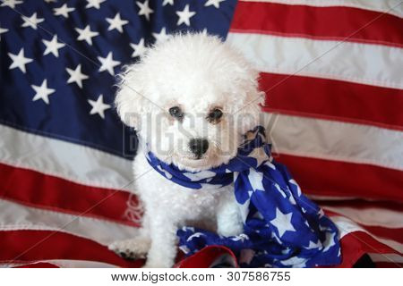 Mia the Bichon Frise Celebrates the Forth of July with an American Flag. Forth of July with a small white dog. Mans best friend celebrates independents day in america.