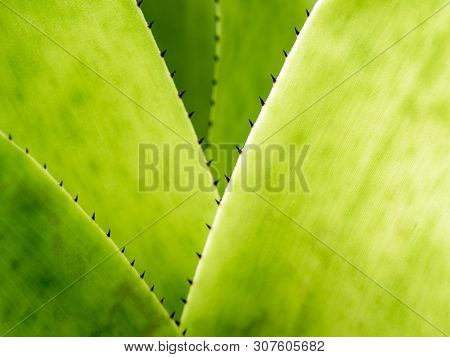 Detail Texture And Thorns At The Edge Of The Bromeliad Leaves