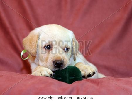 Yellow Labrador Puppy In Green Ribbon