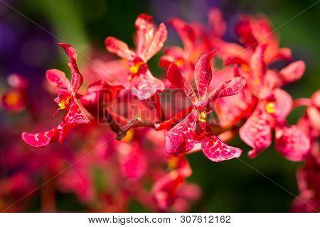 Mokara Orchids Blooming In The Garden