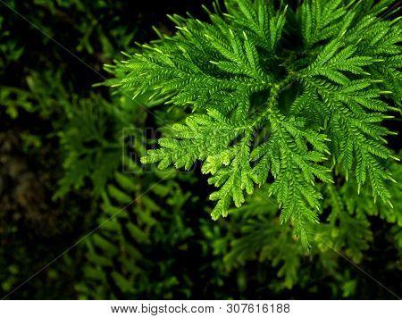 Freshness Green Leaf Of Selaginella Involvens Fern