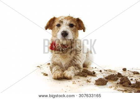 Dirty Dog. Funny Jack Russell Puppy, Lying Down After Play In A Mud Puddle. Isolated Shot Against Wh
