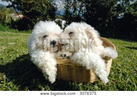 Bichon Puppies Two