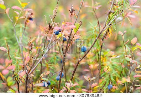 Autumn Bushes Of Wild Boreal Blueberries With Dried Grass, Overripe Fruits Berries In Autumn.