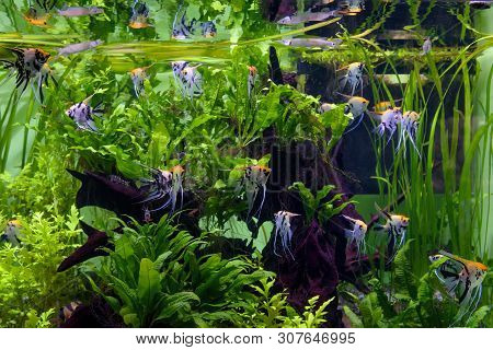 Aquarium With Beautiful Fishes And Green Plants. Tropical Exotic Fishes Swim In Home Freshwater Aqua