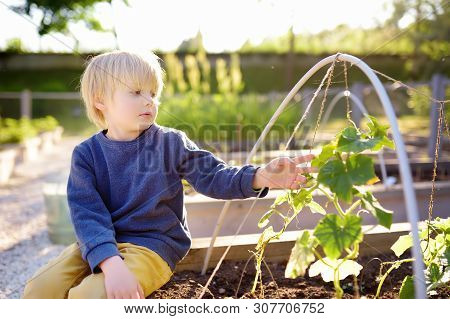 Little Child Is In Community Kitchen Garden. Raised Garden Beds With Plants In Vegetable Community G