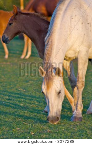 Grazing Mother Horse With Colt
