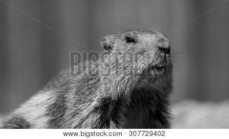 Mountain Marmot, Also Alpine Marmot (marmota Marmota) Is A Species Of Rodent Inhabiting The Mountain