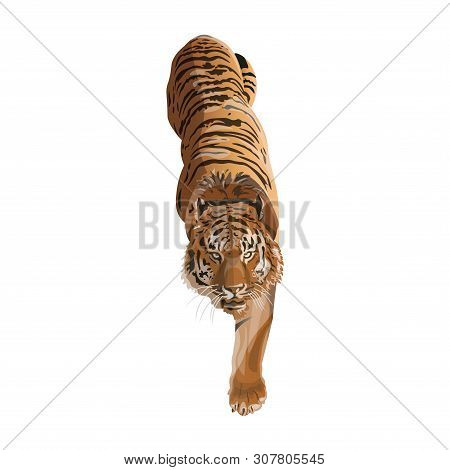 Image Of Creeping Tiger. Vector Illustration Isolated On The White Background