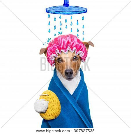 Jack Russell Dog  In A Bathtub Not So Amused About That ,wearing A  Towel Or Bathrobe Or Towel