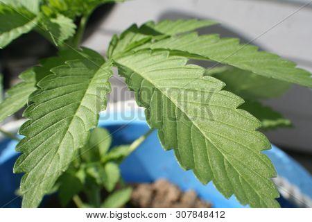 Cannabis Sativa Plant Close Up Stock Photo
