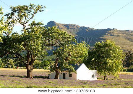Lavender field rural scene, South Africa