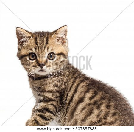 Shorthair British Cat With Bright Yellow Eyes. Greeting Card With British Cat.