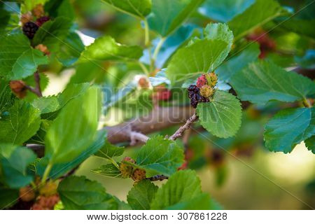 Fresh Mulberry, Black Ripe And Red Unripe Mulberries On The Branch Of Tree. Healthy Berry Fruit