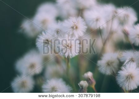 White Fluffy Flowers Butterweed, Horseweed, Erigeron Canadensis, Canadian Fleabane, Conyza Canadensi