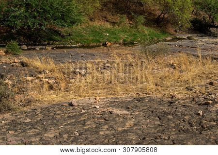 A wild male tiger patrolling his territory and on stroll in backdrop ranthambore hills. Habitat and landscape of dry deciduous forest with blue sky and hills of ranthambore national park, rajasthan, india poster