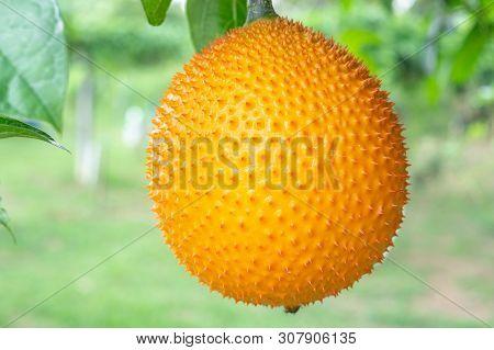 Gac Fruit On Tree,(baby Jackfruit, Cochinchin Gourd, Spiny Bitter Gourd, Sweet Gourd)