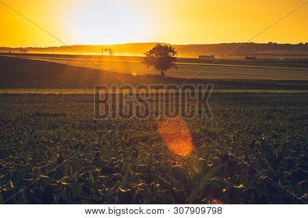 Corn Field In Countryside. Sunset In Countryside Fields. Green Corn Field. Ready To Harvest Corn. Co