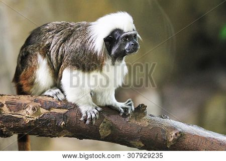 Close Up Portrait Of One Small Cotton-top Tamarin (saguinus Oedipus)