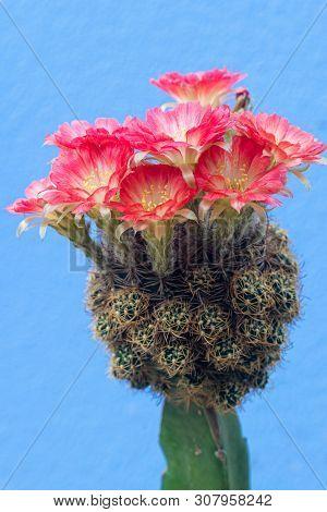 Closeup Beautiful Red Lobivia Cactus Flower On Blue Background