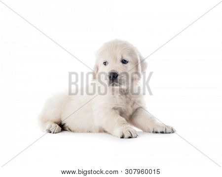 Cute little golden retriever puppy lying isolated on white background
