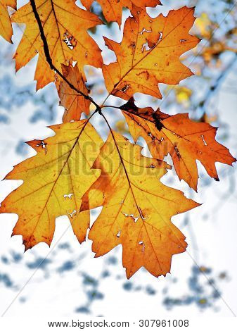 Colorful Yellow And Orange Oak Leaves Against Blurred Forest Branches On Grey Sky Background Outdoor