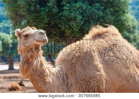 Dromedary With A Light Coat, Beard In The Wind, Taken On A Sunny Day