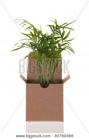Baby Palm plant in paper box