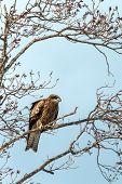 Red kite, milvus milvus, sitting on tree in Hokkaido, Japan, during winter time, raptor perching on branch, isolated bird of prey, beautiful animal, exotic birding in Asia, adventure trip poster