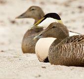 Three common eiders on the sandy beach poster