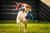 Beagle dog runs in garden towards the camera with colorful toy. Sunny day dog fetching a toy. poster