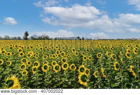 Sunflowers Field Back Side At Lop Buri. Thailand, Farming And Countryside Concept.