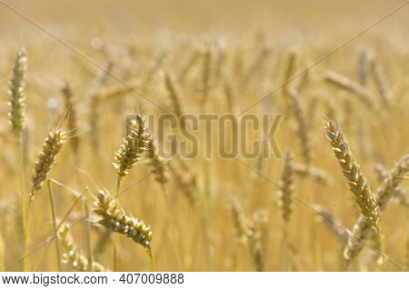 Wheat Field. Ears Of Golden Wheat. The Concept Of A Rich Harvest, Agro-industrial Complex, Farming.